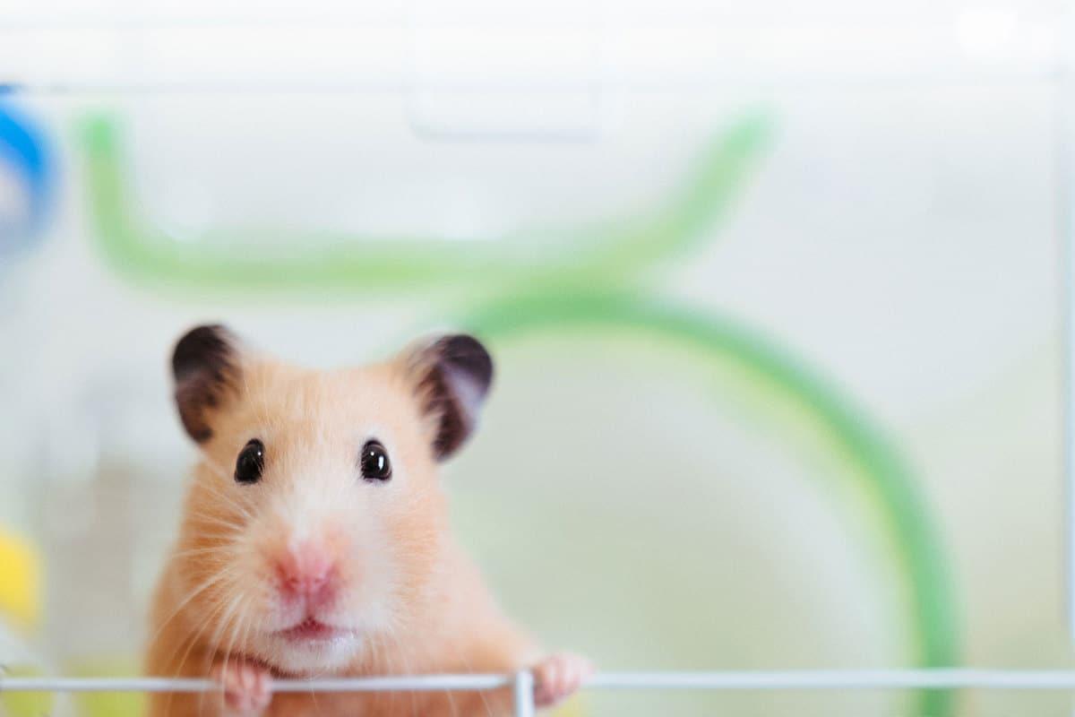Cute hamster close up