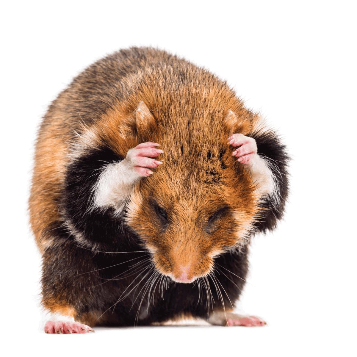 European hamster, Cricetus cricetus, grooming