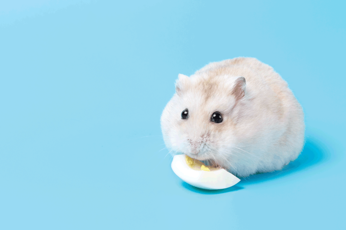 Fluffy dwarf hamster eats egg white on a blue background front view.