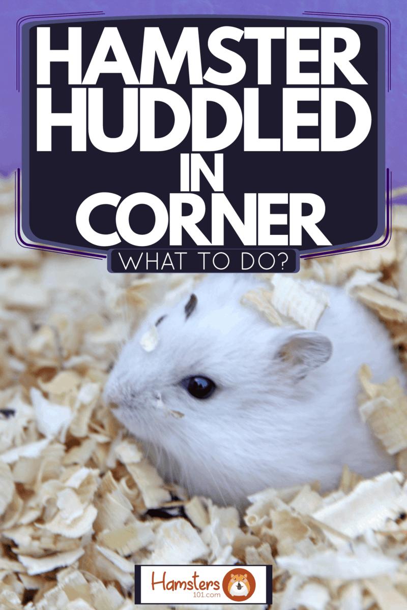 A cute little hamster lying on the wooden shavings, Hamster Huddled In Corner - What To Do?
