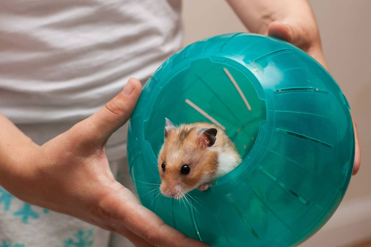 Hamster in its ball hold by human hands