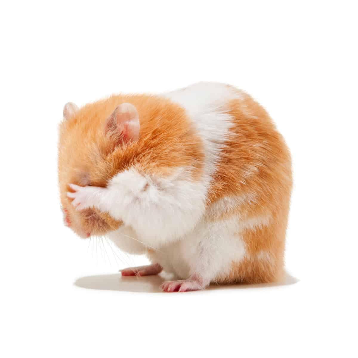 Hamster plays hide and seek