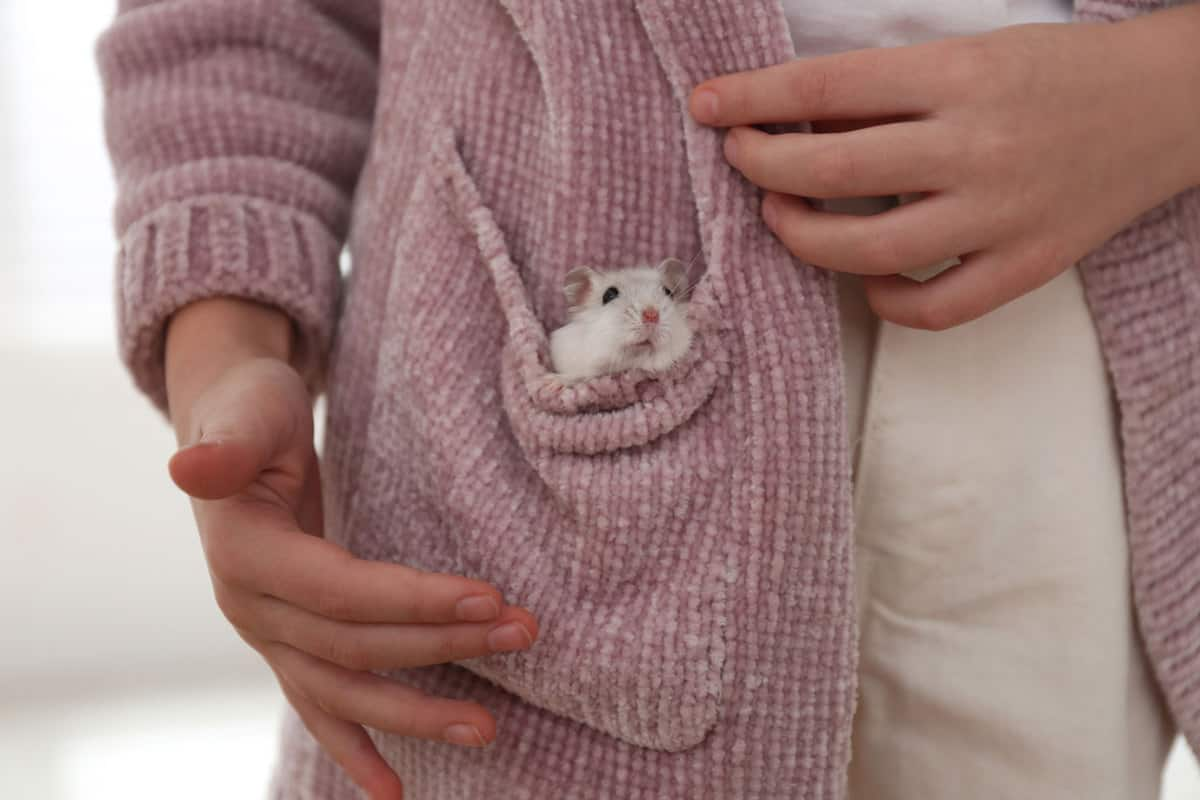 Little girl with cute hamster in pocket at home, closeup