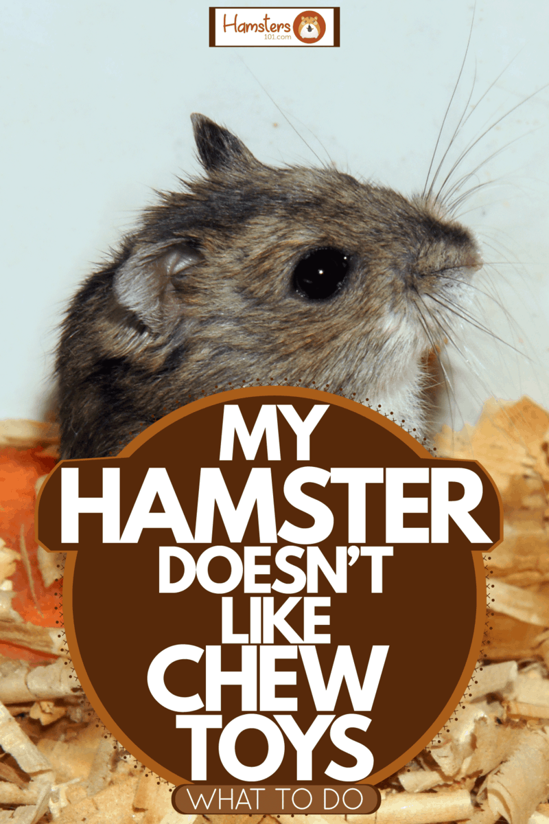 A cute hamster standing and starring at something inside a home, My Hamster Doesn't Like Chew Toys - What To Do?
