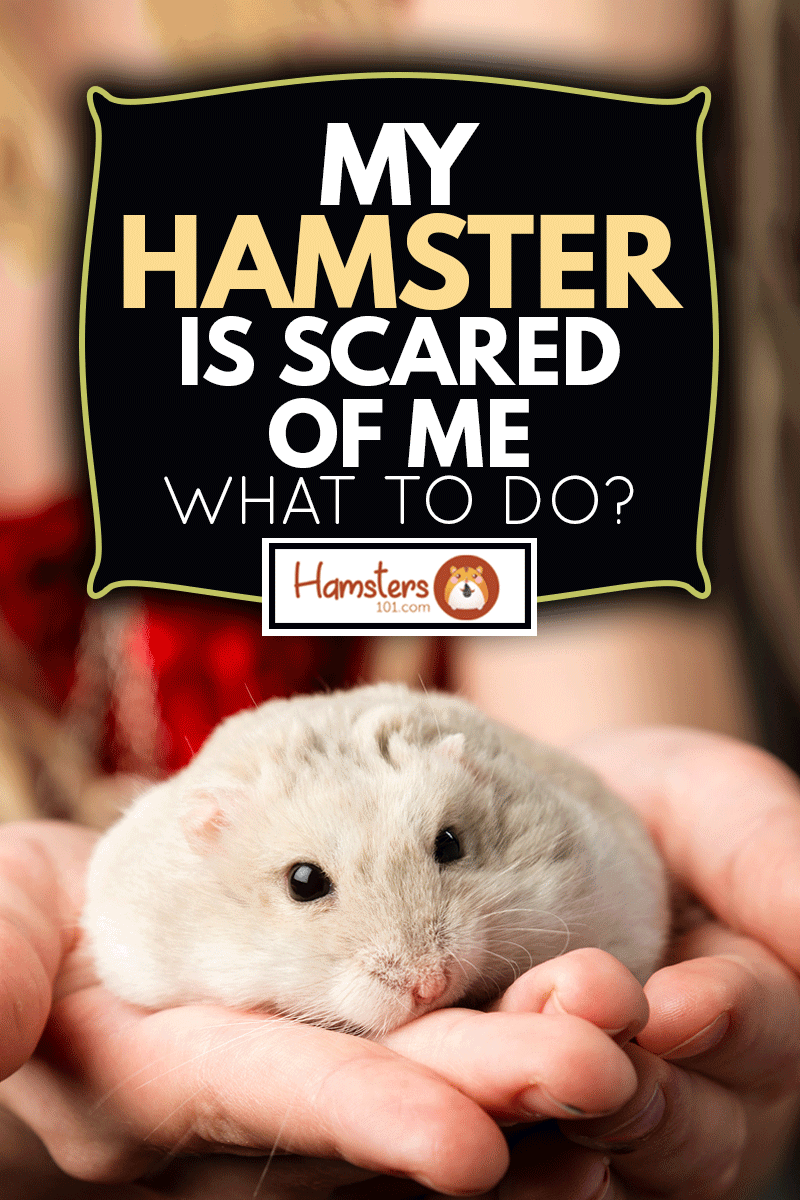 Little girls with a small gray dwarf hamster in her hand, My Hamster Is Scared Of Me - What To Do?