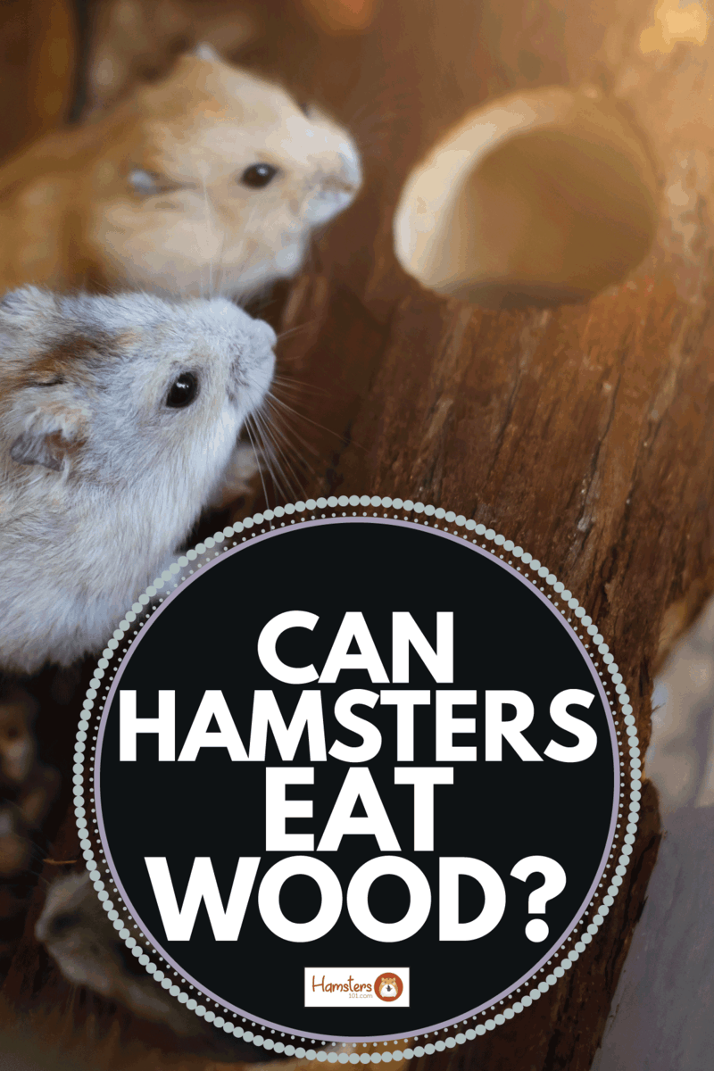 Robo dwarf hamster eating chewing food from bowl in cage. Can Hamsters Eat Wood