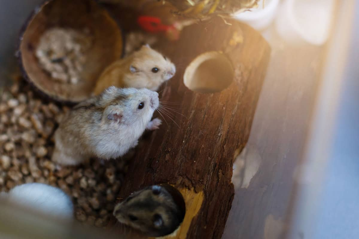 Two robo hamsters standing on a wooden decoration