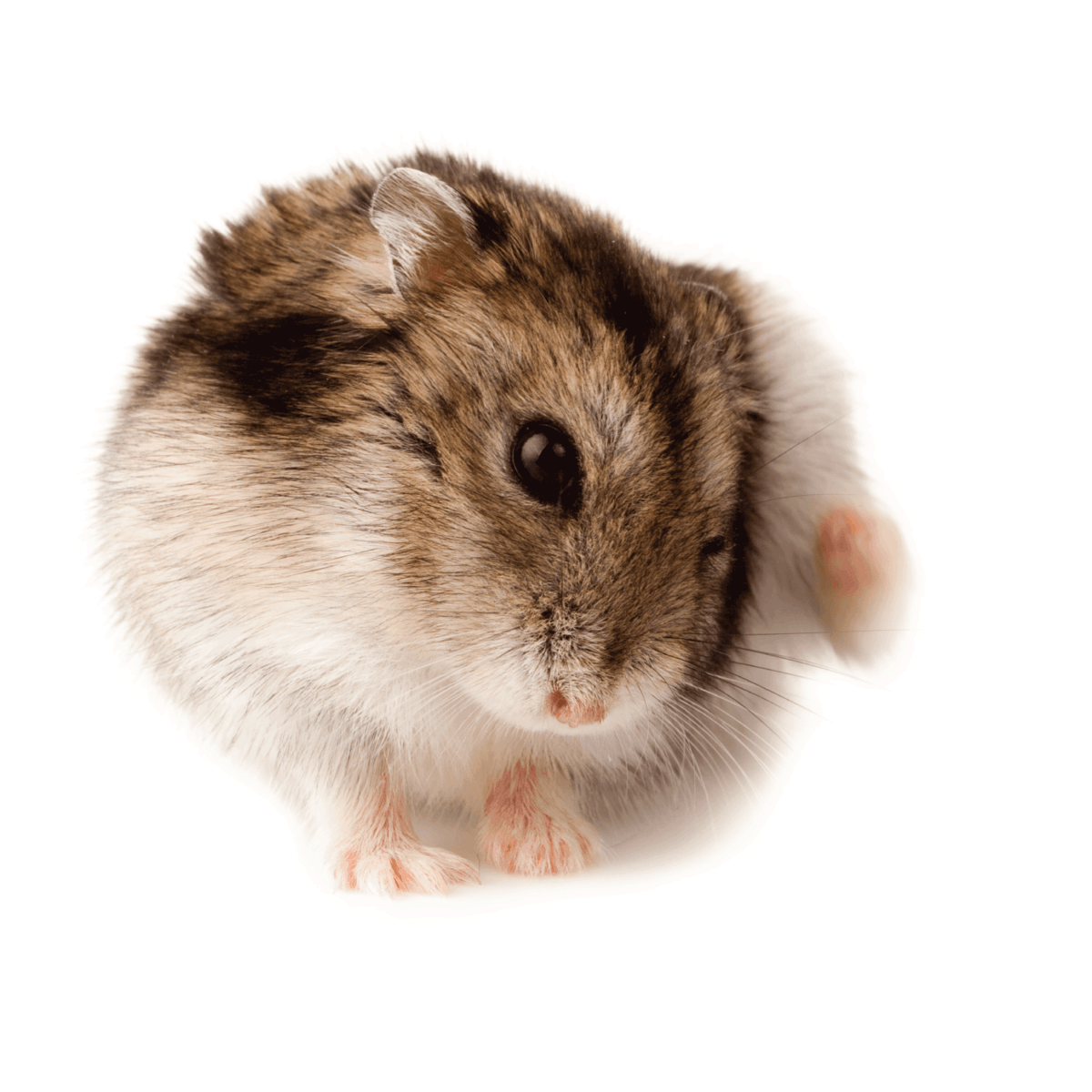 Hamster's Coat Looks Ruffled - What To Do