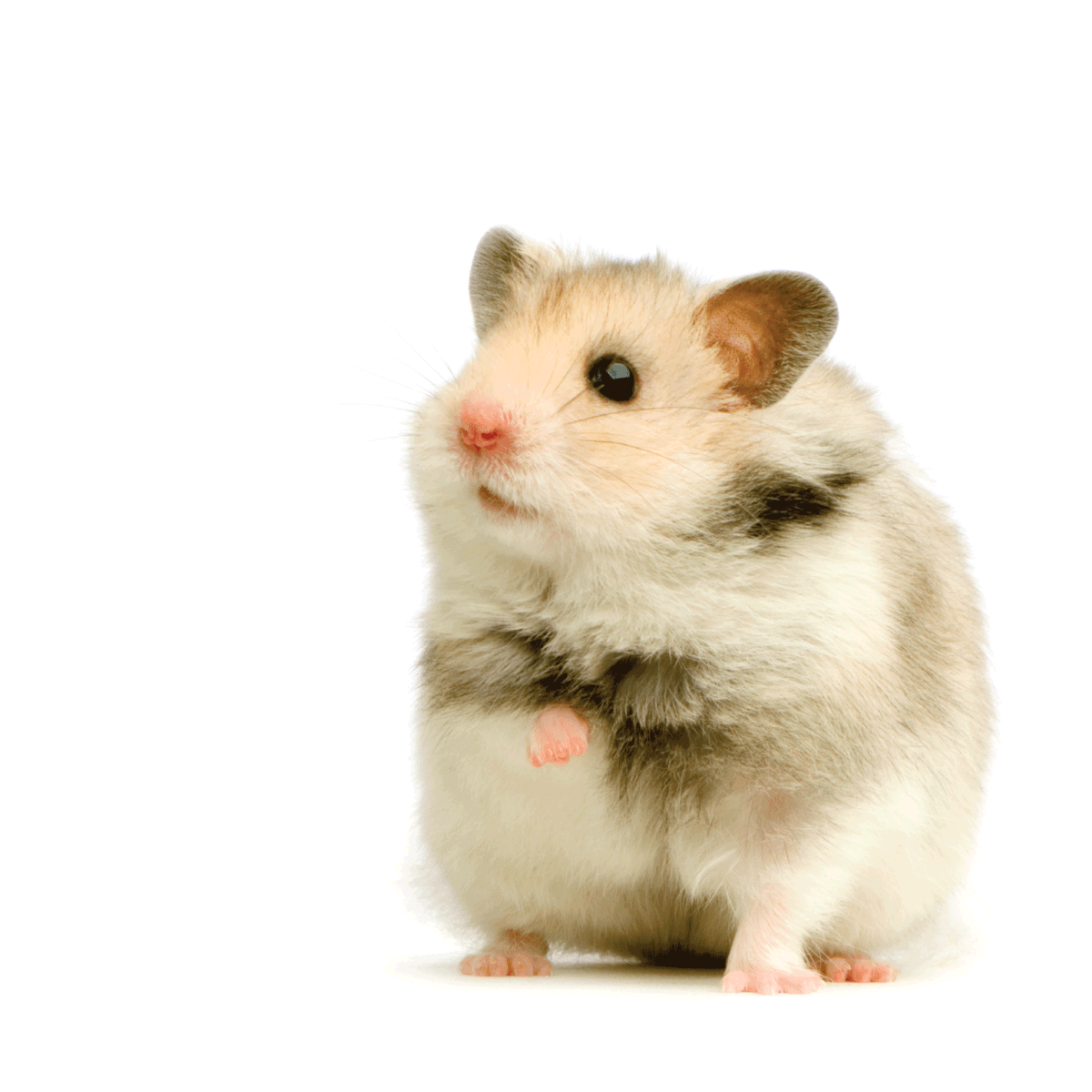 cute hamster standing steadily on a white background