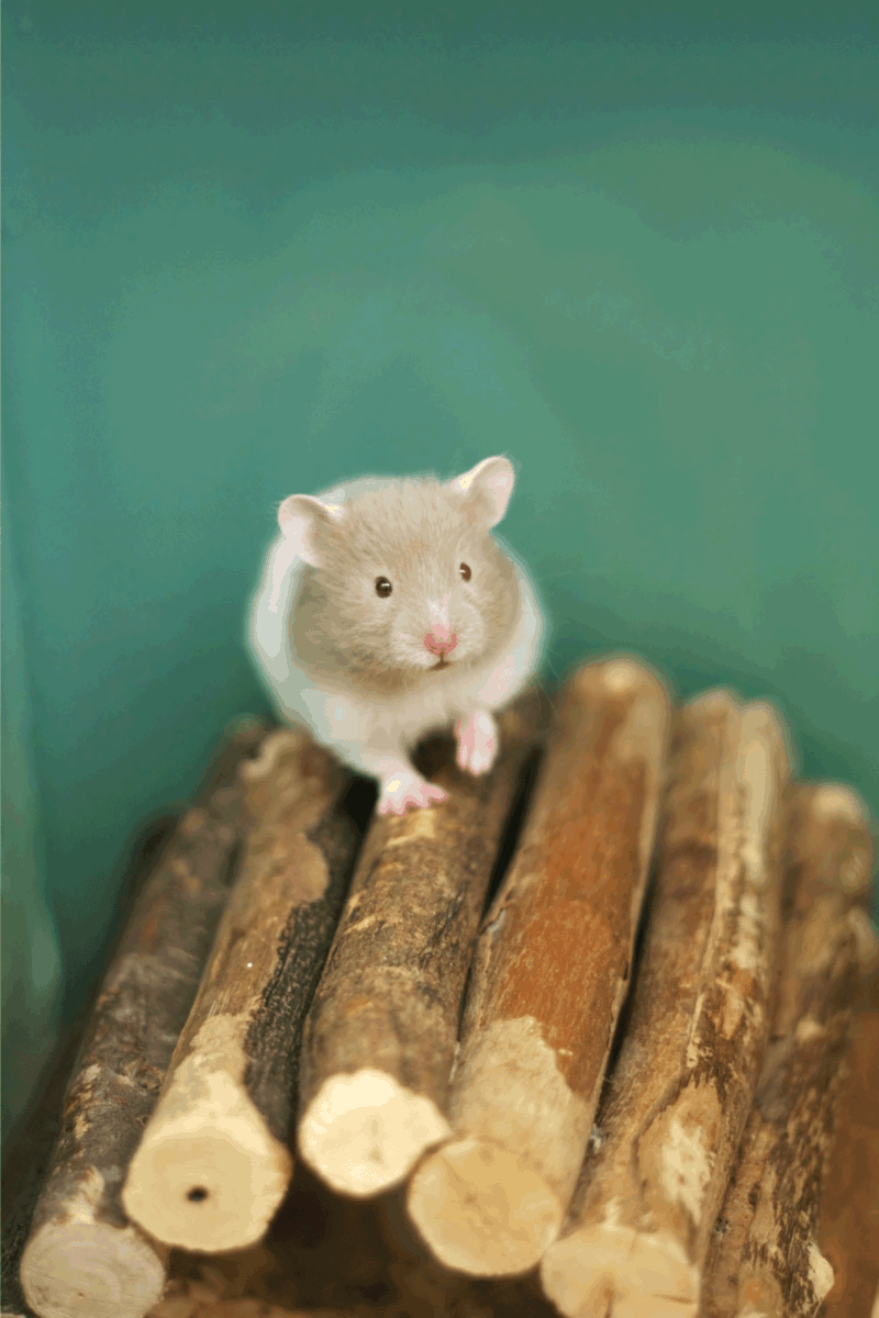 teddy bear hamster standing on top of a stack of sticks