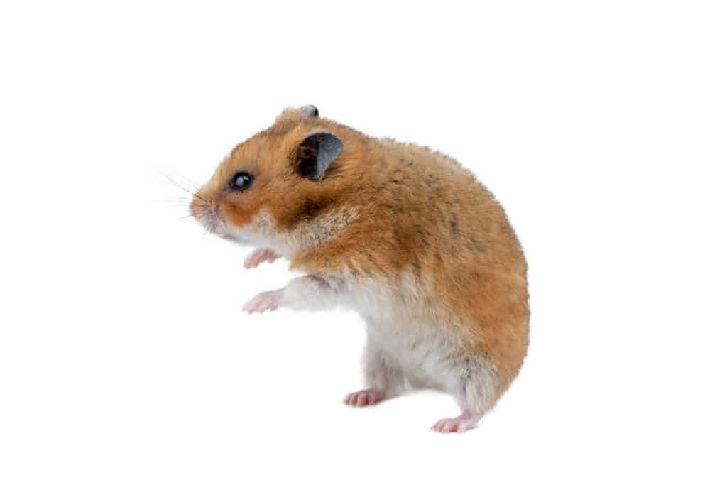 A brown colored hamster on a white background