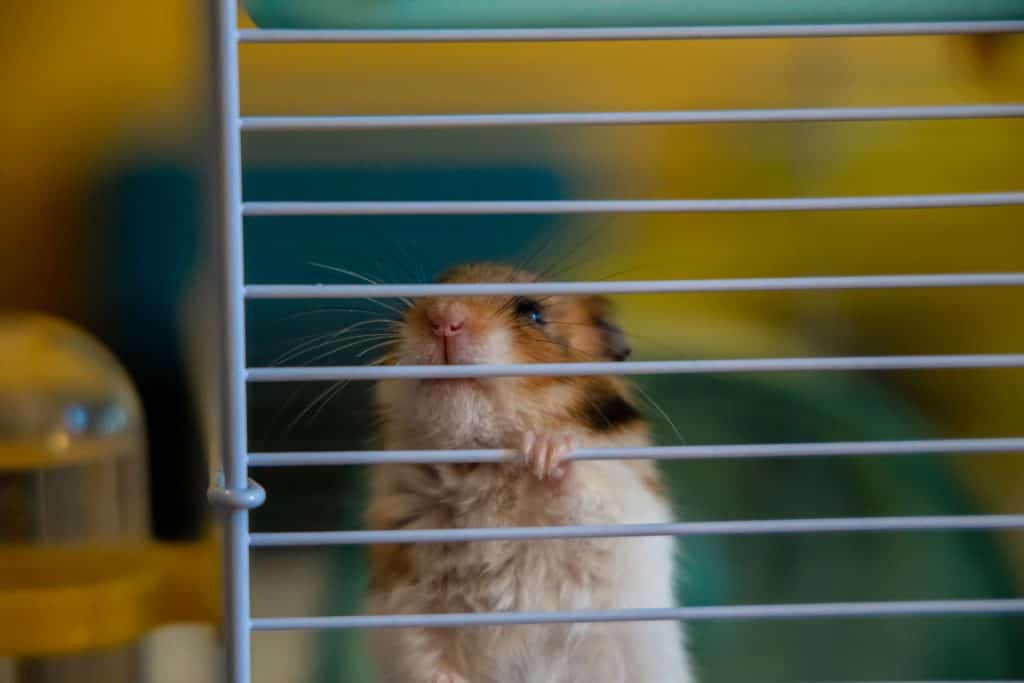 A brown hamster climbing on the side of his cage