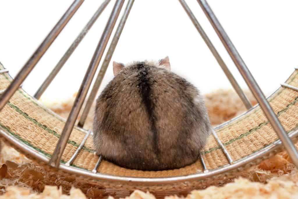 A brown hamster sitting on his brand new metal hamster wheel