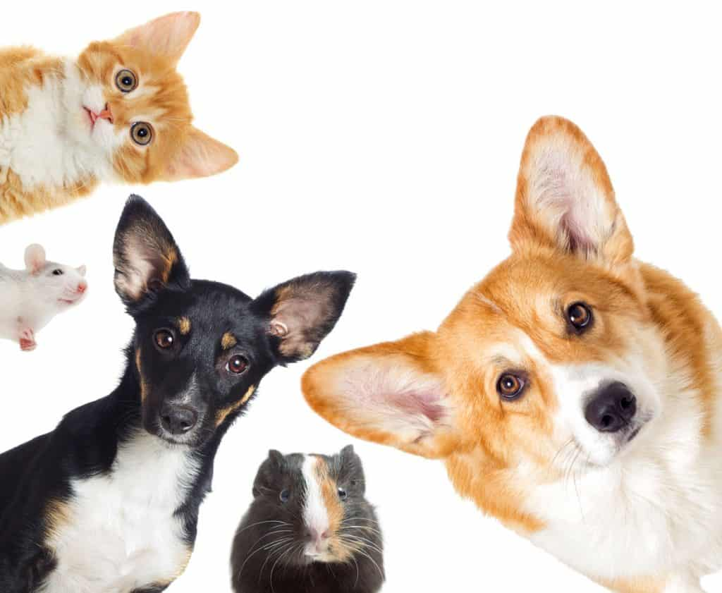 A collaged photo of a dog, cat, hamster, and a mouse