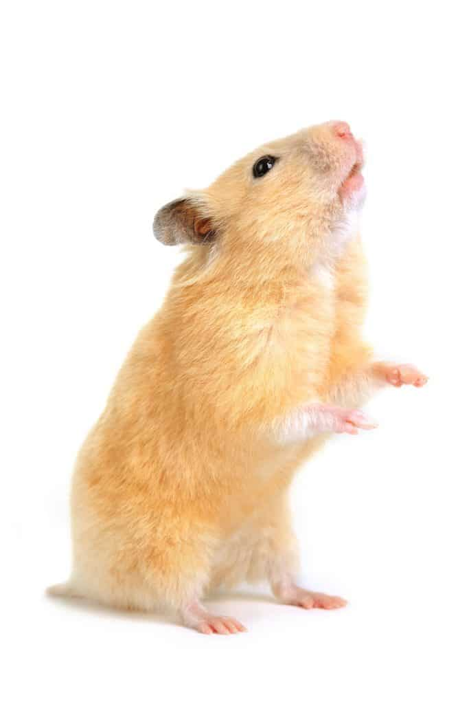 A cute hamster standing up on a white background