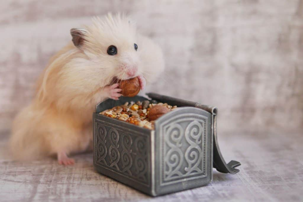 A cute blonde hamster eating a big piece of nut