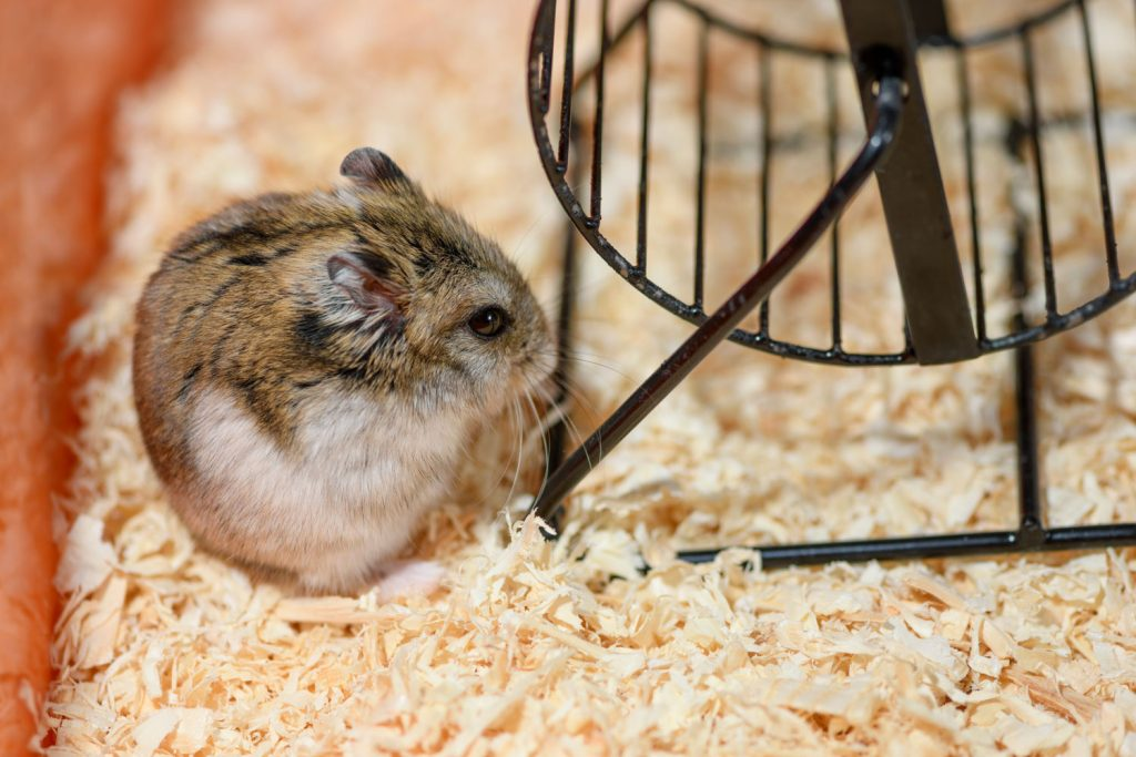 A cute hamster lying next to his hamster wheel