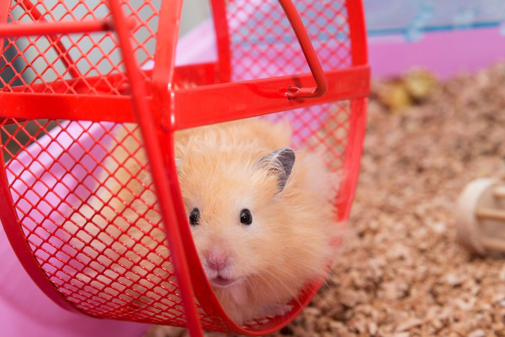 A cute hamster sitting on his red metal hamster wheel