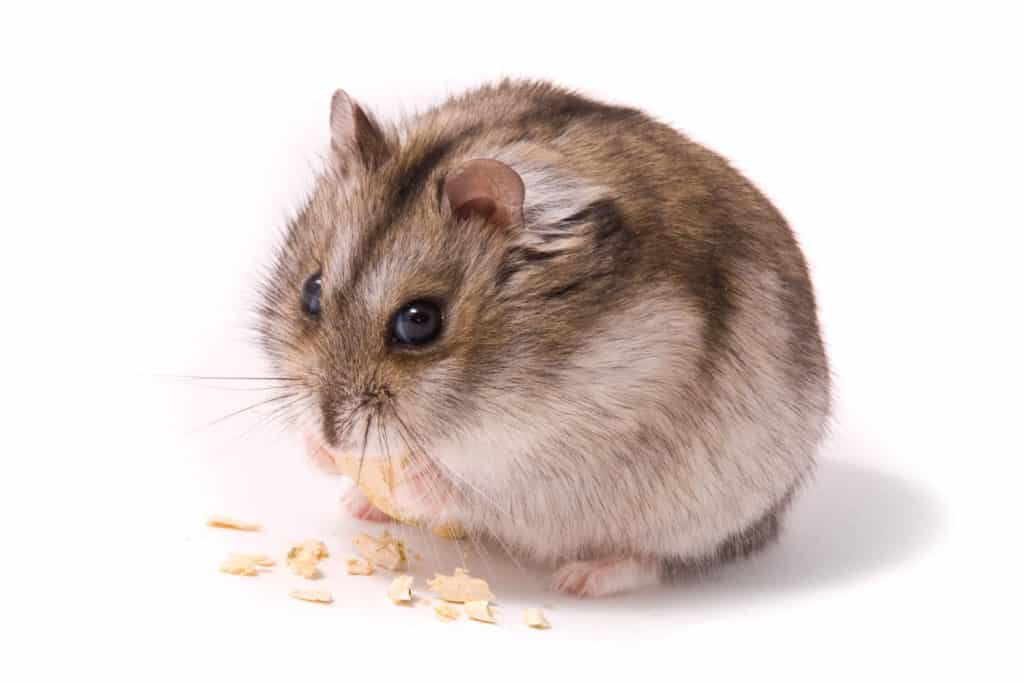 A cute little hamster eating pieces of crackers