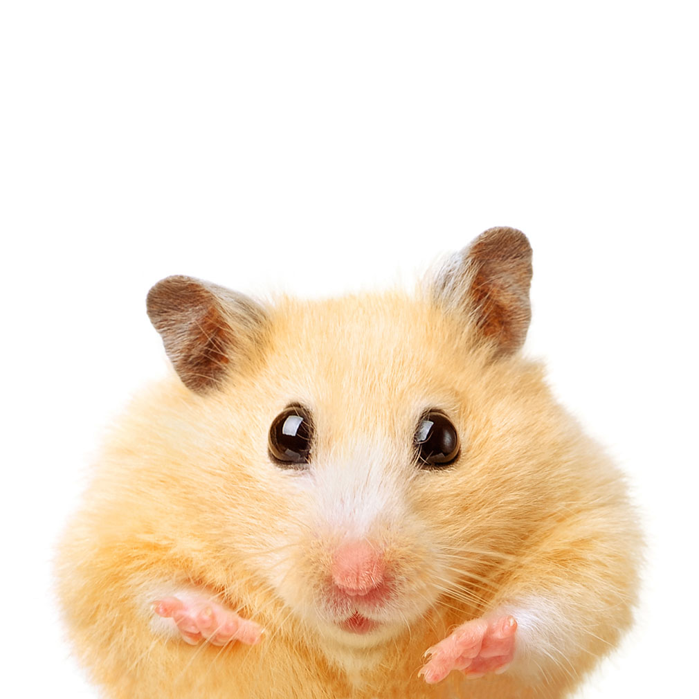 A funny yellow colored hamster on a white background