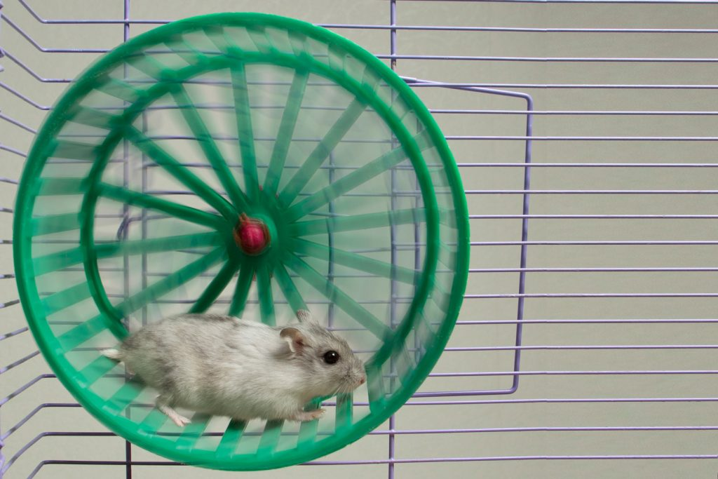 A gray hamster in his green colored hamster wheel