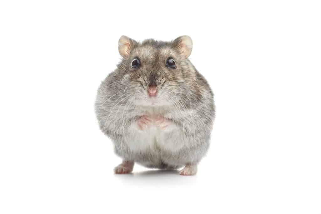 A gray hamster sitting on a white background