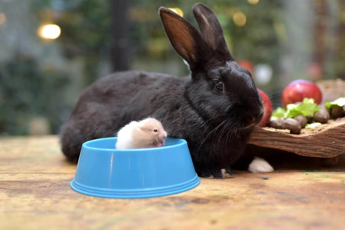 A hamster in a bowl with black rabbit