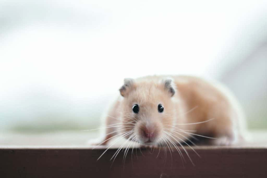 A hamster running on top of a shelf
