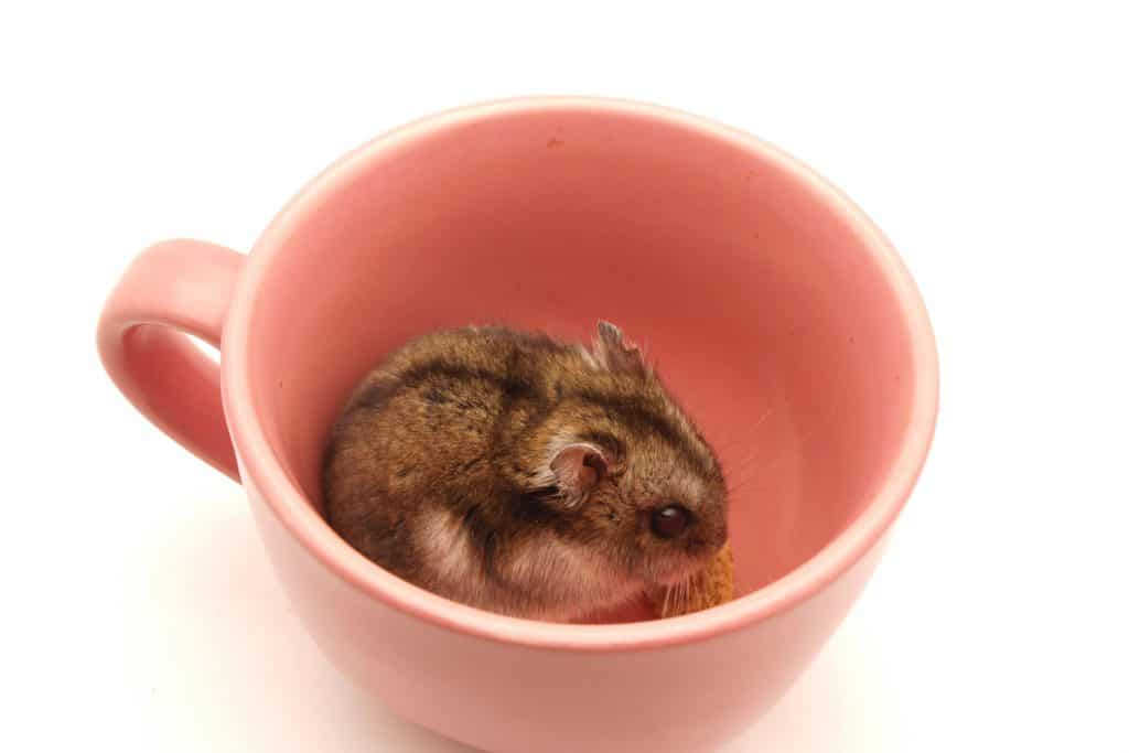 A hamster sitting inside a small red mug