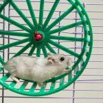 Why Does My Hamster Pee Or Poop In His Wheel?