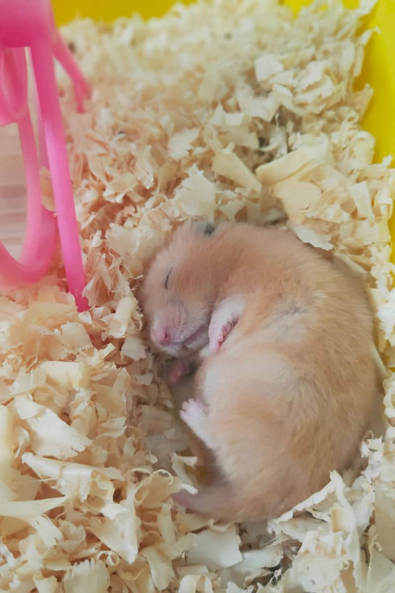 A small cute hamster sleeping on top of wood shavings inside his home