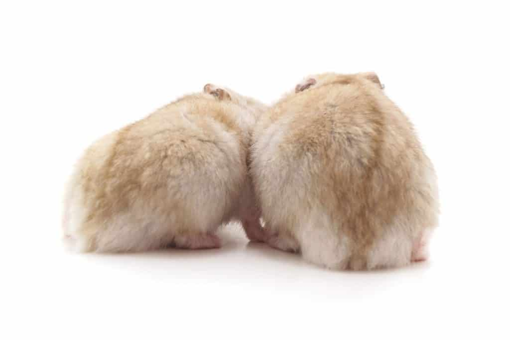 Two hamster looking away and sleeping on a white background