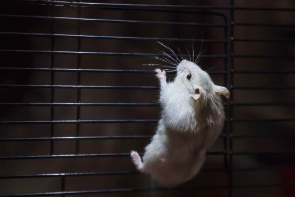 A white hamster hanging on the side of his metal cage