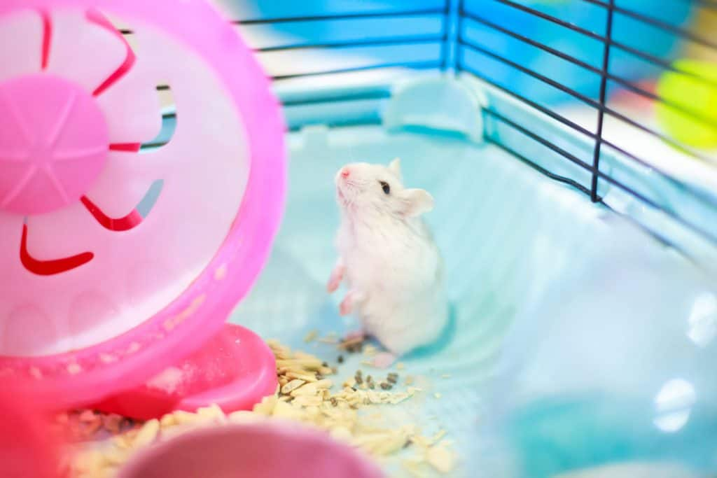 A white hamster standing up and looking at his pink plastic wheel
