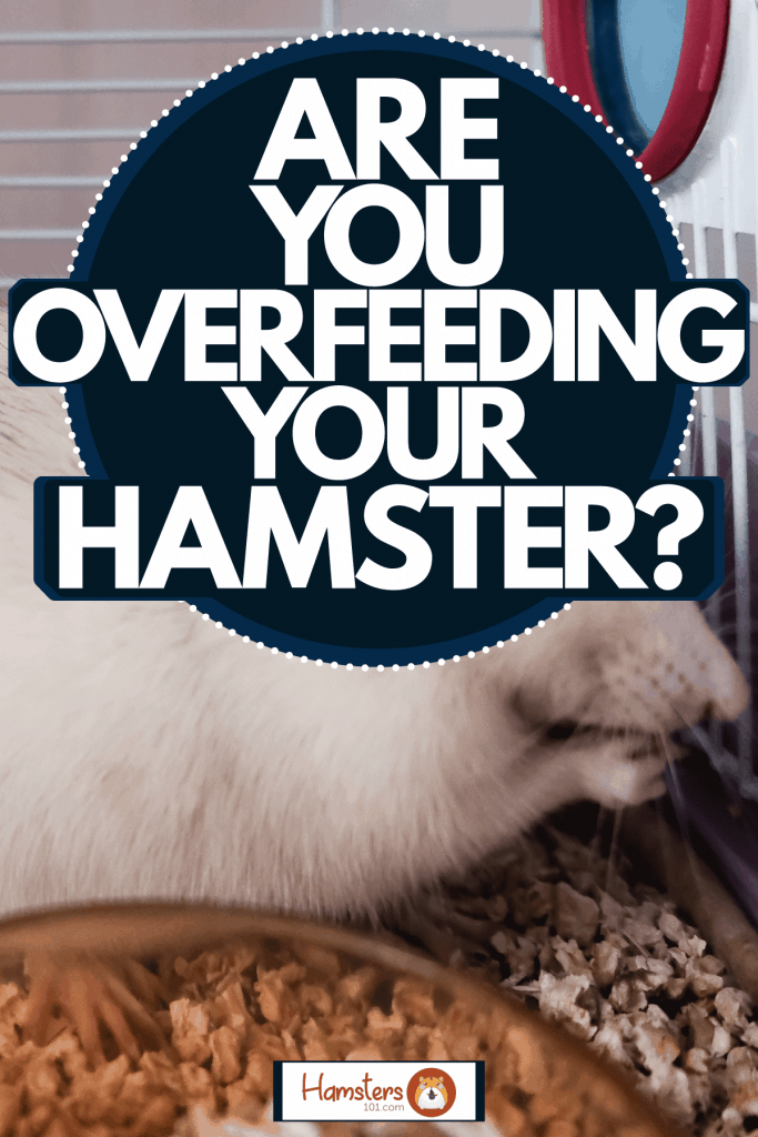 A cute white hamster eating his hamster food, Are You Overfeeding Your Hamster?