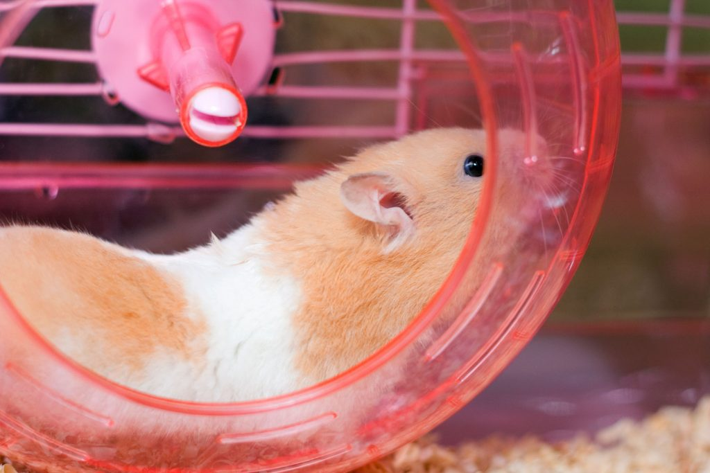 Brown Syrian hamster running around his red plastic hamster wheel