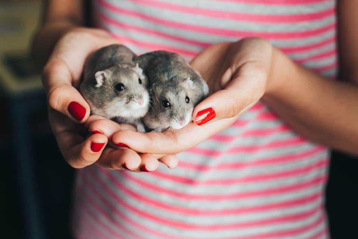 Couple of gray Russian hamsters in girl hands with red nail polish and pink and gray stripes t-shirt
