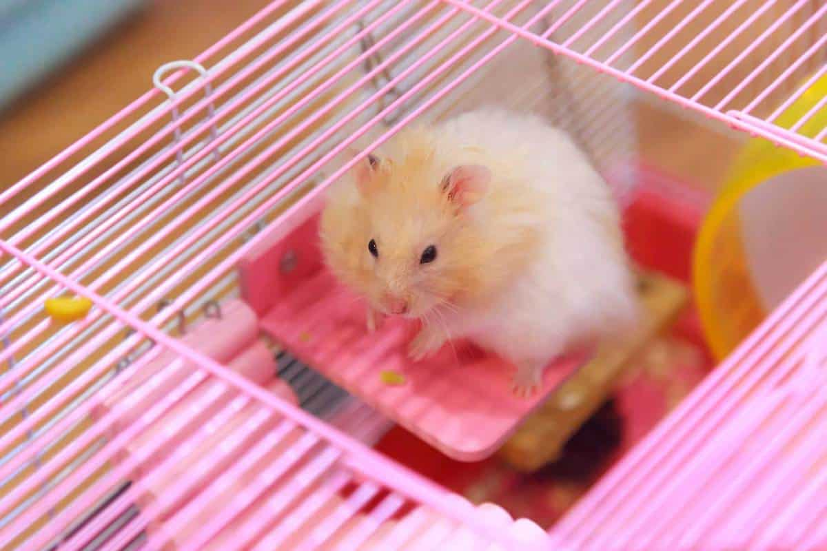 Cute golden hamster climbing on wooden panel deck attached on cage