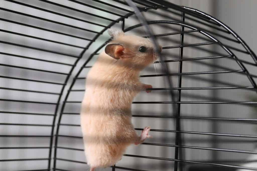 Cute hamster climbing up on the side of his cage