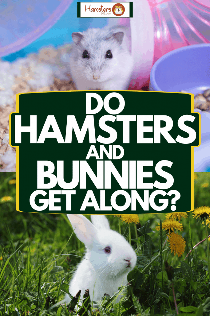 A collaged photo of a rabbit and hamster, Do Hamsters And Bunnies Get Along?