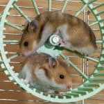 Should You Buy Hamsters In Pairs?