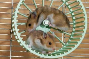 Read more about the article Should You Buy Hamsters In Pairs?