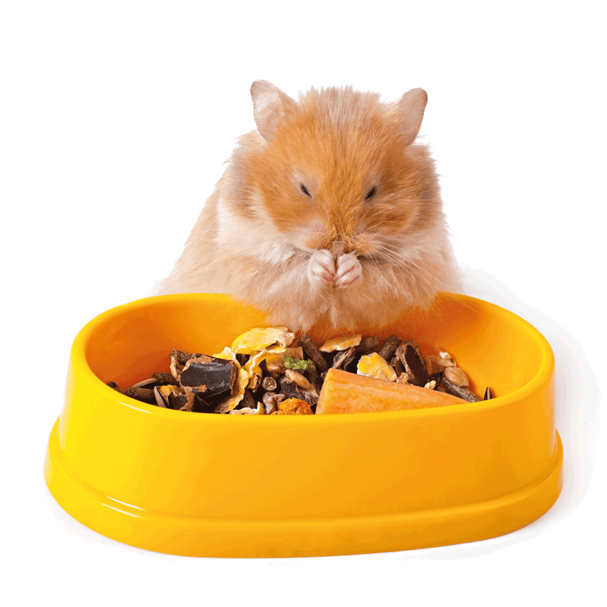 Hamster eating feed. Are You Overfeeding Your Hamster