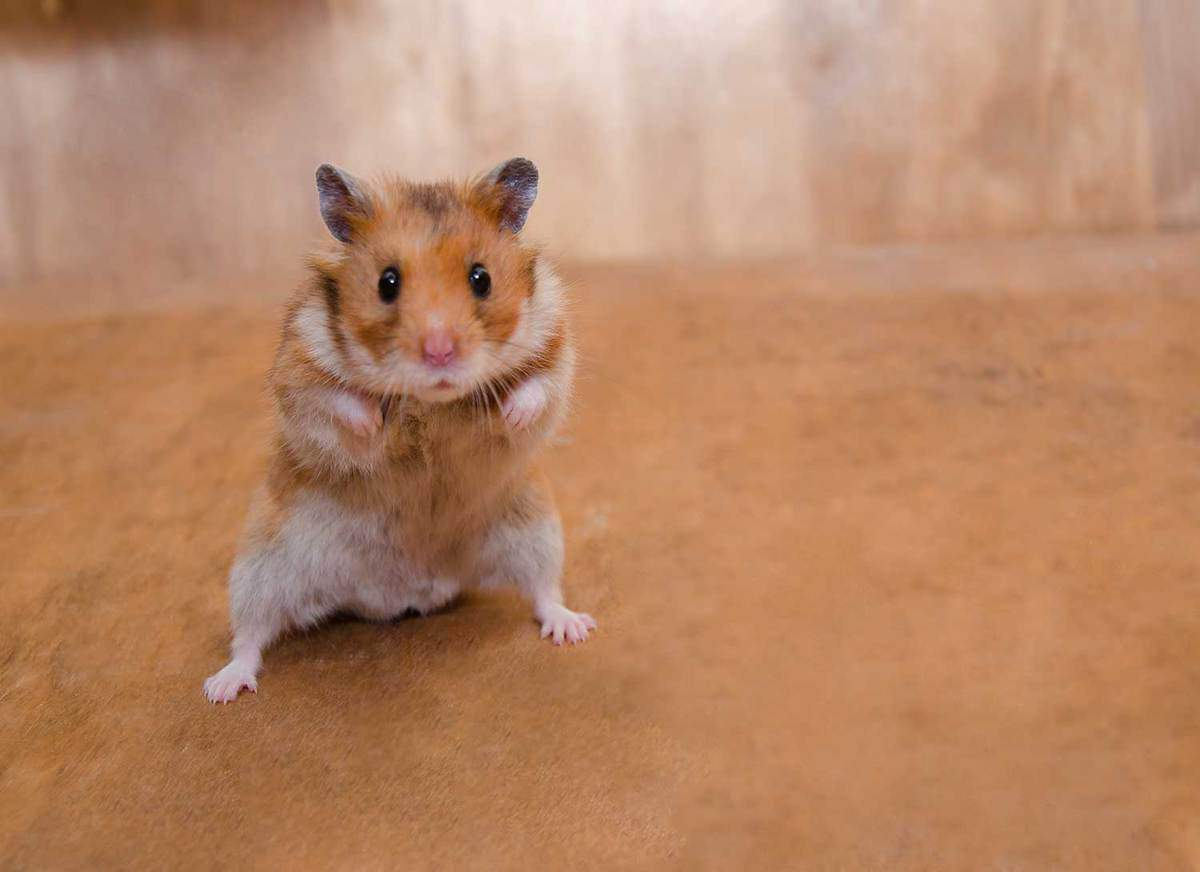 Scared funny Syrian hamster standing on its hind legs as if getting ready to fight