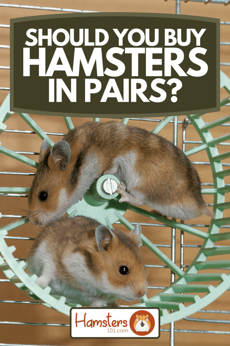 Golden hamsters playing in cage, Should You Buy Hamsters In Pairs?