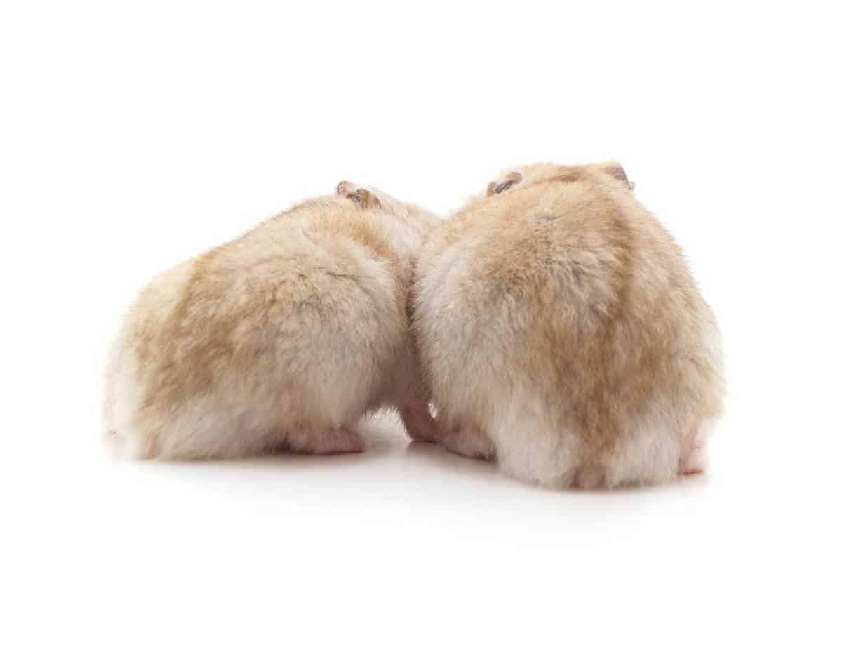 Two white hamster isolated on white background