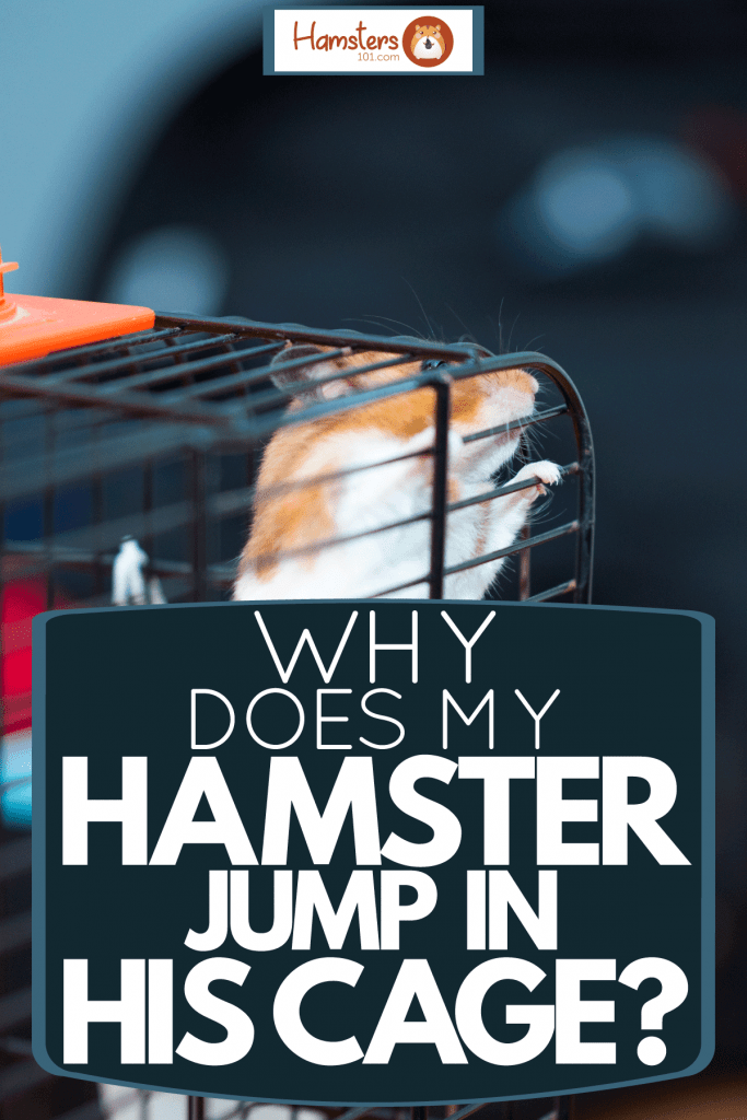 An orange colored hamster trying to leap out his small metal cage, Why Does My Hamster Jump In His Cage?
