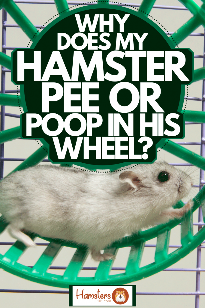 A happy hamster running around his small green colored hamster wheel, Why Does My Hamster Pee Or Poop In His Wheel?
