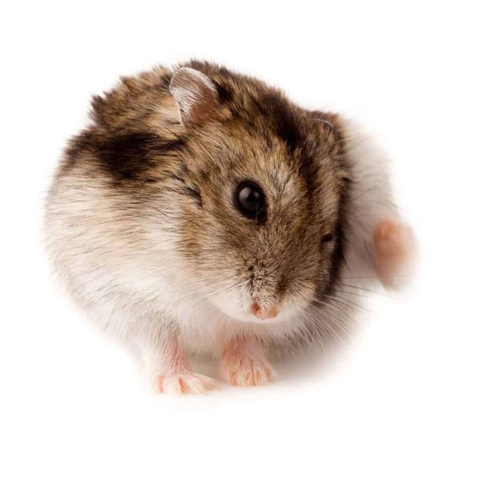 A cute hamster scratching his head on a white background