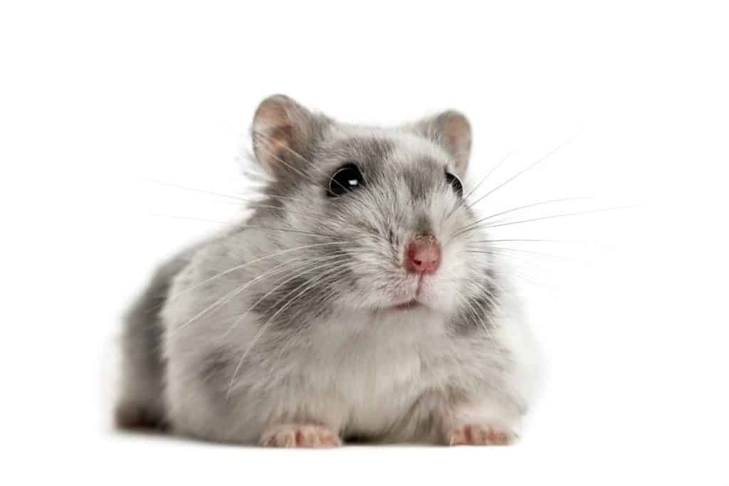A cute little gray hamster sitting on a white background